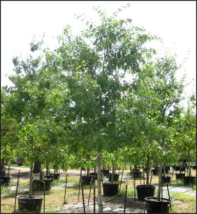 Best Trees to Plant in Austin